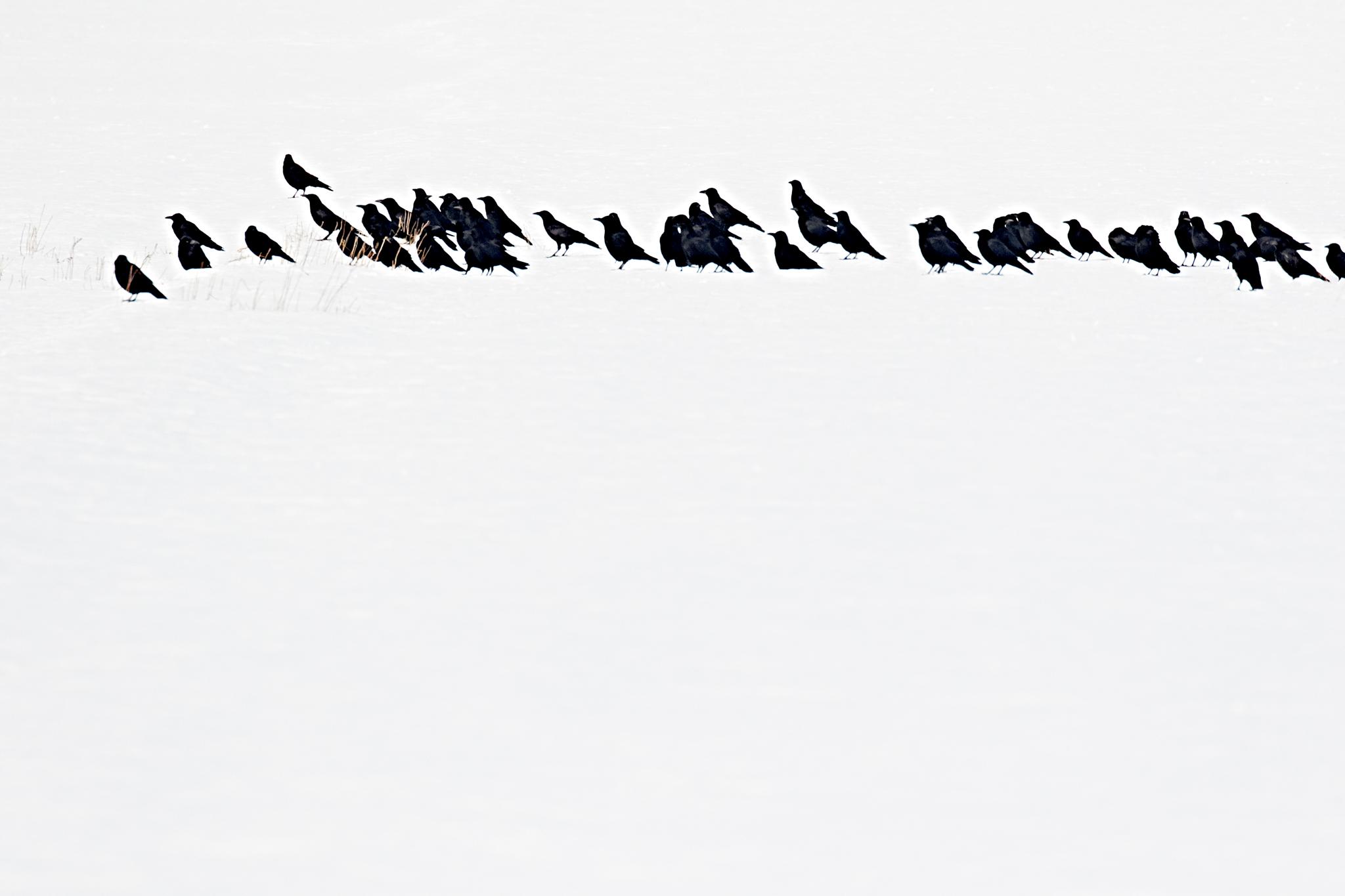 animal10_blackbird02