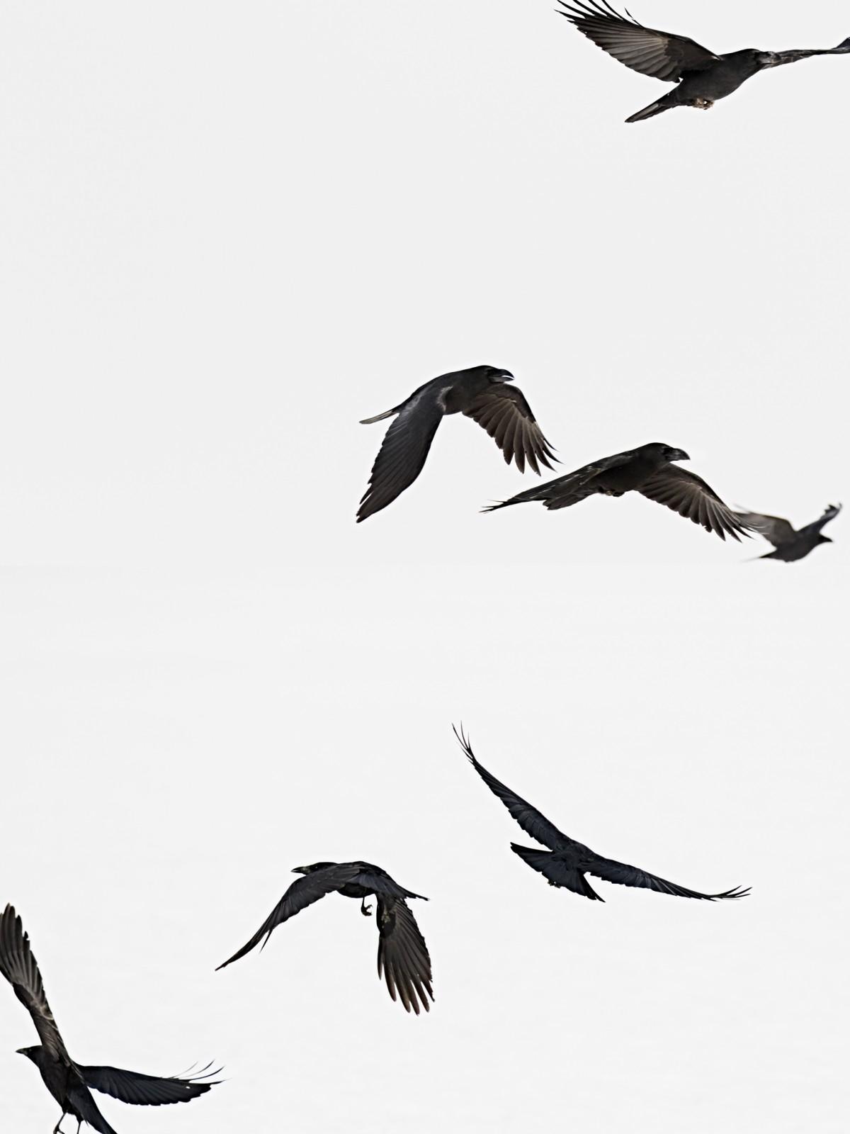 animal10_blackbird03