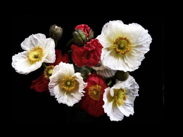 poppy01